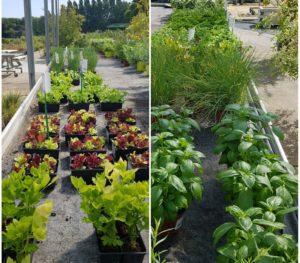Plantons de légumes