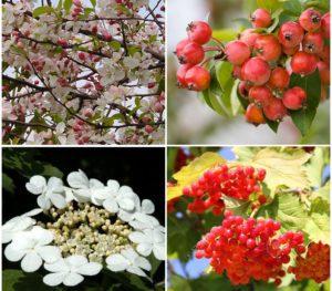 Arbustes à intérêt décoratif