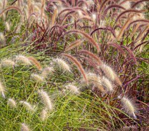 Herbes décoratives