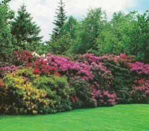 Arbustes de terre de bruyère